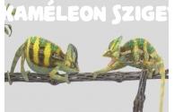 Két kaméleon egy terráriumban, lehet-e? - előnézeti képe