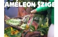 Kaméleon itatása - Hogyan itasd a kaméleonod különböző életkorban - előnézeti képe