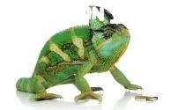 Sisakos kaméleon tartása - faj leírása  - előnézeti kép